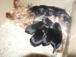 Foto 5 gebe ab mitte februar 5 kleine mischlingshunde ab.
