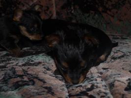 Foto 7 gebe ab mitte februar 5 kleine mischlingshunde ab.