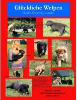 Foto 2 glückliche Welpen - Retriever/Labrador