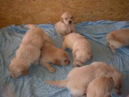 Foto 2 golden retriever welpen