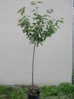 goldthujen  ca 1m hoch  und kirschen bäume