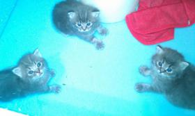 Foto 5 habe 3 süße perserkatzenmischlinge zu verkaufen