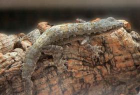 hallo ich biete 2 schöne asiatische hausgeckos