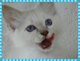 Foto 2 heilige Birma Kitten Reinrassigen