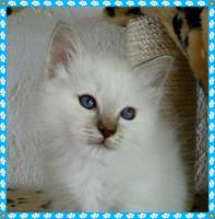 Foto 3 heilige Birma Kitten Reinrassigen