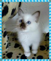Foto 4 heilige Birma Kitten Reinrassigen