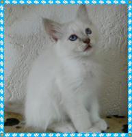 Foto 5 heilige Birma Kitten Reinrassigen