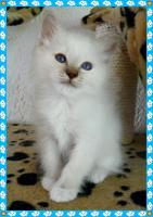 Foto 6 heilige Birma Kitten Reinrassigen