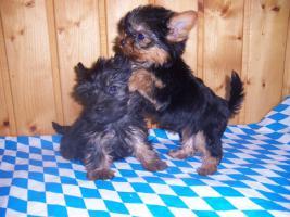 herzige Yorkshire Terrier Welpen kleinbleibend