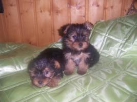 Foto 3 herzige Yorkshire Terrier Welpen kleinbleibend