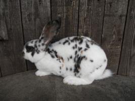 hübsche reinr. REX - Kaninchen weiblich