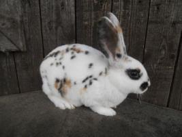Foto 2 hübsche reinr. REX - Kaninchen weiblich
