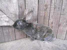 Foto 3 hübsche reinr. REX - Kaninchen weiblich