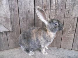 Foto 4 hübsche reinr. REX - Kaninchen weiblich