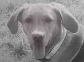 hündin loki labrador vermisst , seid sept 2012 in Bochum abgegeben