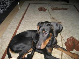 hund dobermann welpen
