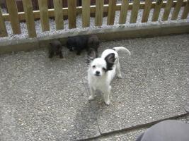 hunde welpen chiahuahua