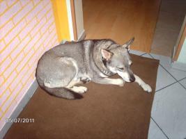 Foto 4 husky mischling