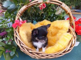 Foto 2 ich heiße Obelix und bin ein kleiner Chihuahua-Welpe