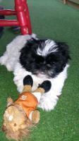 Foto 2 ich bin ein kleiner Teddybär, Shih Tzu Welpe, und suche immernoch ein schönes zu Hause