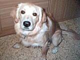 Foto 4 ich suche für mein Hund ein (Goldenen Retriever ) Hündin, ein neues zu Hause