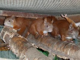 junge Eichhörnchen rot