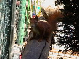 Foto 2 junge Eichhörnchen rot