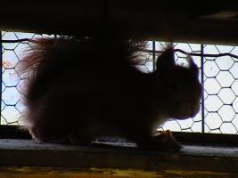 Foto 3 junge Eichhörnchen rot