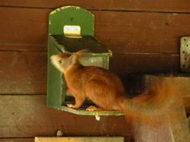 Foto 4 junge Eichhörnchen rot