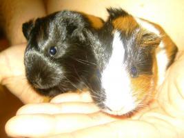junge Langhaarmeerschweinchenmädels suchen ab Anfang August ein neues Zuhause