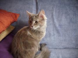 junge Maine Coon Kätzchen ohne Papiere