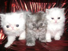 Foto 2 junge Schönheiten von Perserkätzchen suchen Liebhaber.