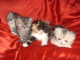 Foto 3 junge Schönheiten von Perserkätzchen suchen Liebhaber.