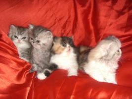 Foto 4 junge Schönheiten von Perserkätzchen suchen Liebhaber.