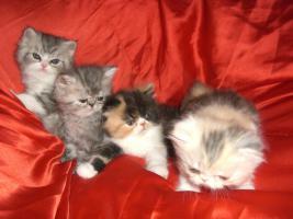 Foto 5 junge Schönheiten von Perserkätzchen suchen Liebhaber.