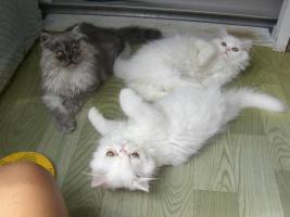 Foto 6 junge Schönheiten von Perserkätzchen suchen Liebhaber.