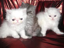 Foto 7 junge Schönheiten von Perserkätzchen suchen Liebhaber.