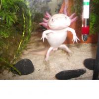 junge axolotl abzugeben