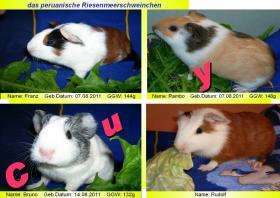 junge peruanische Rieseneerschweinchen (  CUY )