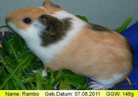 Foto 4 junge peruanische Rieseneerschweinchen (  CUY )