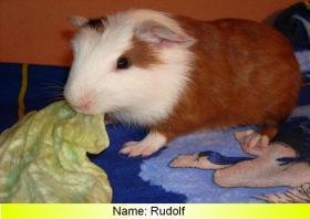 Foto 5 junge peruanische Rieseneerschweinchen (  CUY )