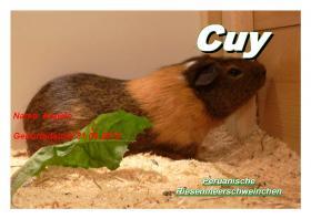 Foto 2 junge peruanische Riesenmeerschweinchen ( CUY )
