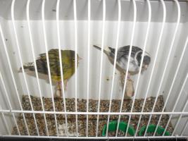kanarienvögel und schauzebrafinken