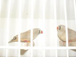 Foto 2 kanarienvögel und schauzebrafinken