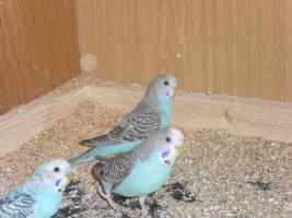 kanarienvögel und wellensittiche