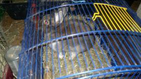 kaninchen junge  braun