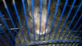 Foto 3 kaninchen junge  braun