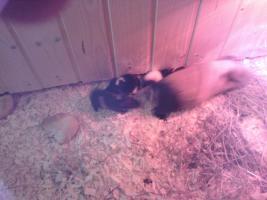 Foto 2 kastriertes meerschweinchen
