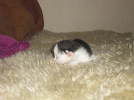 Foto 3 katzenbabys abzugeben
