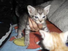 Foto 4 katzenbabys abzugeben